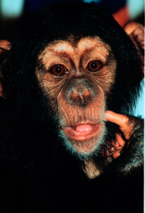 Avi Ben David Talks to chimps